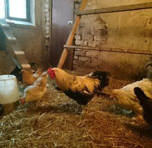 Kana kukko kanala